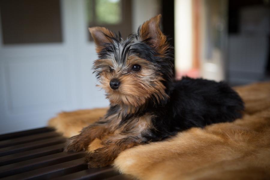 Chanel, la refinada cachorrita de yorky