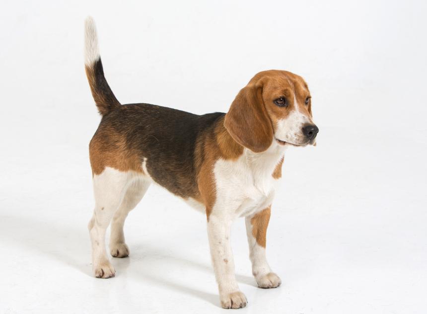 Beagle en el estudio